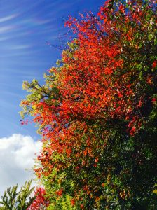 Brilliant red maple against blue sky