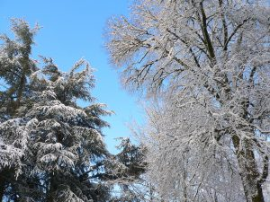 Snow-covered trees in front of blue sky on the OSU campus