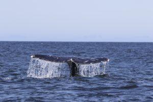 whale-fluke