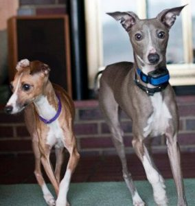 Sibling whippets Sienna (left) and Scirroco.
