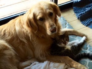 Willow, the Golden Retreiver, and Misty, the cat.