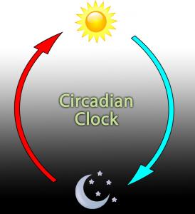 circadian clock