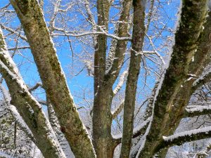 Large snowy oak branches pointing up into a blue sky