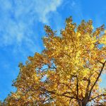 Tree with yellow leaves and blue sky