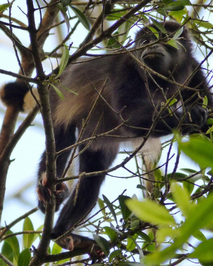 Howler monkey_low