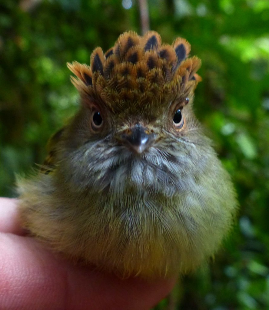 Scaly-crested pigmy tirant_low