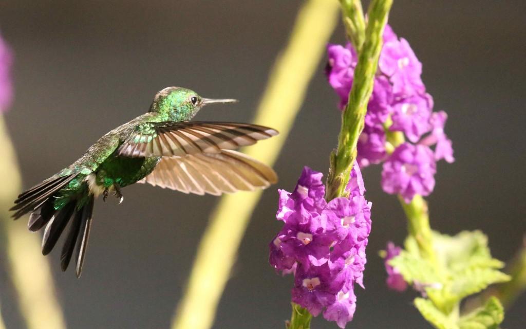Garden emerald_Chlorostilbon assimilis_small