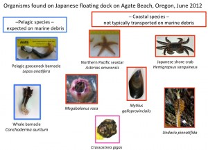 Organisms found on Japanese floating dock on Agate Beach, Oregon, June 2012