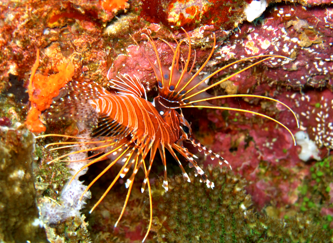 the invasive lionfish essay Get the story behind the red lionfish's needle-like dorsal fins and the powerful venom that they pack learn how the red lionfish is expanding its range.