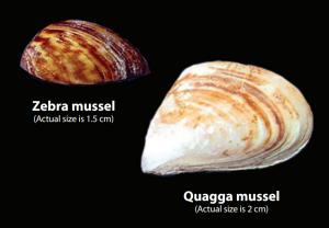 Zebra Quagga Mussels