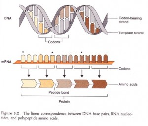 The Central Dogma. Coding goes in the direction DNA makes RNA makes protein.