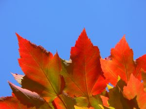 Bright red and orange maple leaves against a blue sky