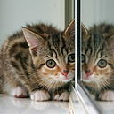Kitten reflected in a mirror