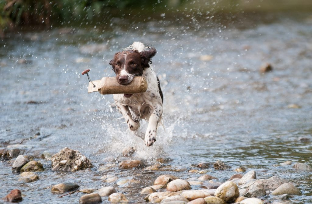 Dog running through water with a stick