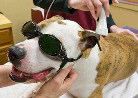 Laser Therapy May Alleviate Pet Pain Animal Connection