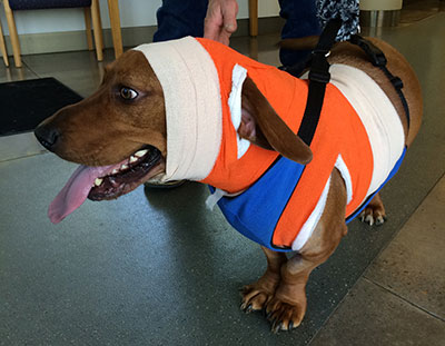 Rusty in his orange-wrapped back splint. Go Beavs!