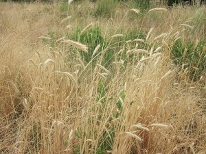 Image by Rocketclips, Inc. Wild wheat blowing in the breeze.