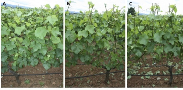 Figure 1. Leaf removal conducted at bloom in 2011: (A) before leaf removal, (B) mechanical leaf removal on the east and west side of the cluster zone, and (C) leaf removal by hand on the east and west side of the cluster zone.