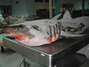 Great white shark thaws for necropsy