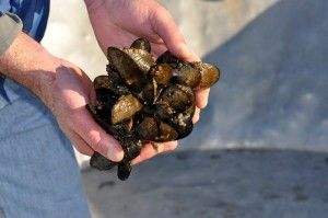 Hatchery-reared oysters (photo by OSU News & Research Communication)