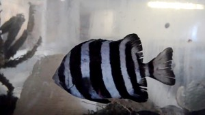 Striped Knifefish