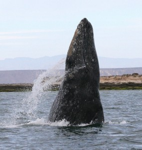 A grey whale breaches in a Mexican lagoon (photo courtesy of NOAA)