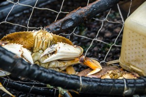 Dungeness crab in trap
