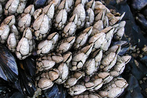 barnacles for dinner could be breaking waves