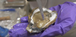 Shucked oyster in lab