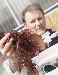 OSU's Chris Langdon aims to scale up the production of a red seaweed thanks to funding from NOAA. The grant is part of the federal government's effort to expand domestic aquaculture.