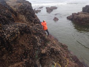 Low tide gave Julia Bingham the chance to measure goosenecks at this study site in Yachats. (Photo courtesy of Julia Bingham)