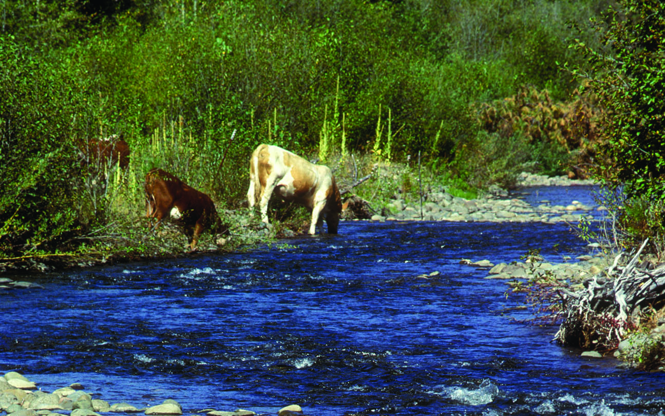 Cattle spend limited time in streams