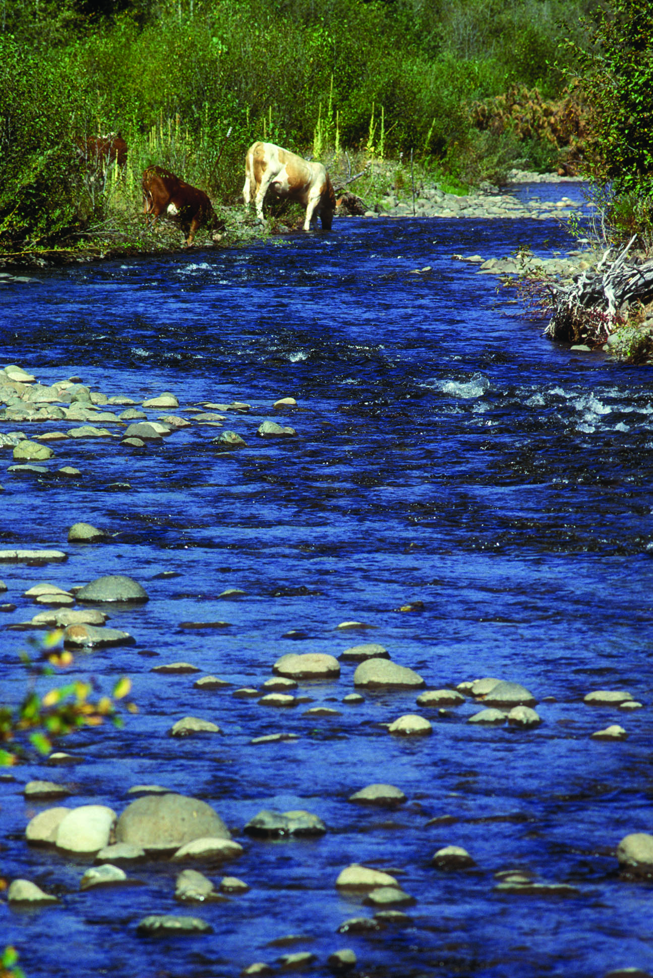 Photo of cattle grazing in stream