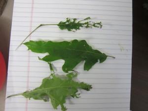 chewed oak leaves