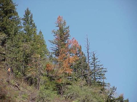 Douglas-fir mortality, SW Oregon