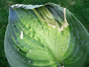 Heat Stress on Hosta plant