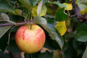 Apple hangin on tree branch