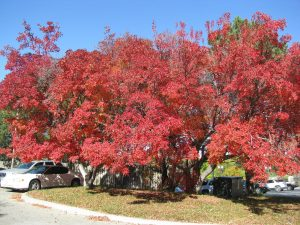 Trees showing fall color (red)
