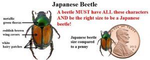 ID Characteristics of the Japanese Beetle