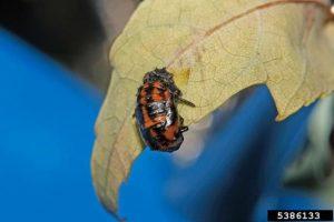 Lady Beetle pupae