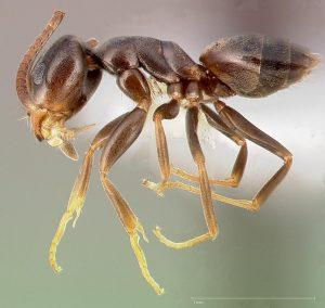 Odorous house ant, Tapinoma sessile; lateral view.