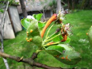 Numerous powdery, bright orange spores are present on leaves, twigs, blossoms, and fruites in Pacific Coast Pear Rust.