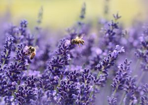 Two bees on lavendar plants
