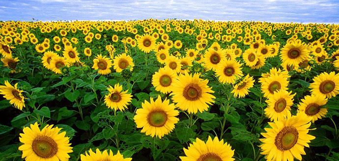 Sunflowers-header