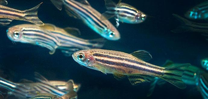 Synergies.zebrafish.header