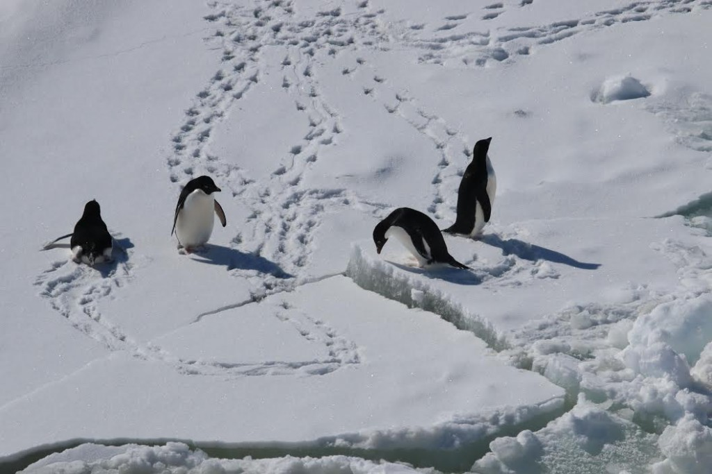 Antarctica penguins michelle fournet 1