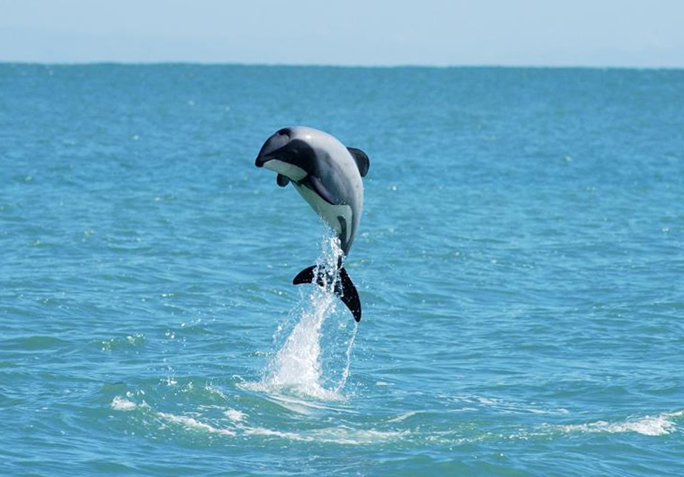 Maui's dolphin credit: Will Rayment
