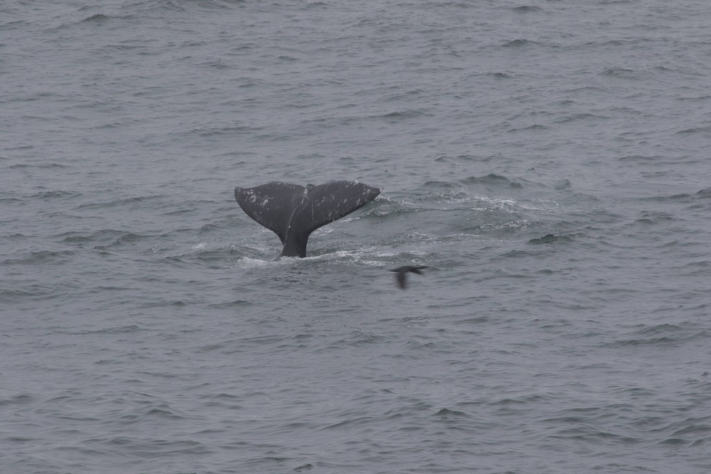 "Gray whales do not ""fluke"" very often, so its always a treat when we get a picture of one!"
