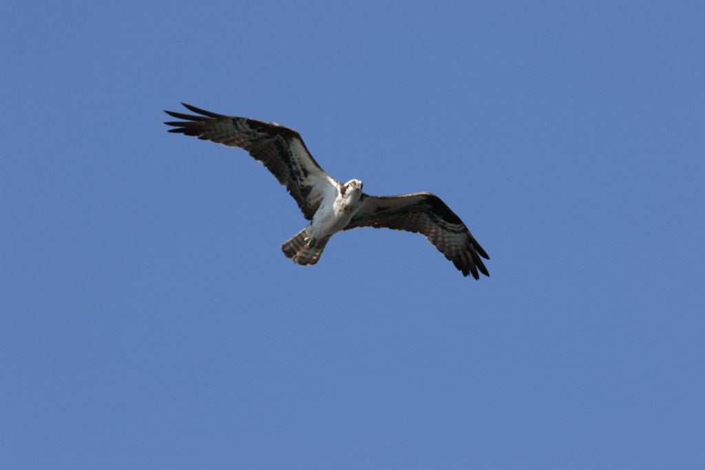 We see the Osprey mutliple times a day in Port Orford as there are a couple of nesting pairs with chicks to feed.