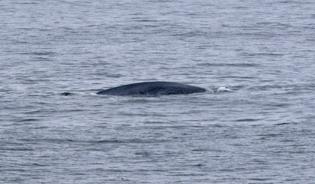 A very unexpected, but very welcome visitor! Spotted off Boiler Bay August 10.